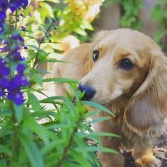 Love Pet, Puppy Love, Dachshund Puppies, Wiener Dogs, Little Dogs, Animal Photography, Dog Breeds, Cute Animals, Sausage Dogs