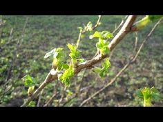 Весна. Полесье. Украина. Смородина 25.03.14 г. (Nature. Seasons)
