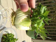 Growing Vegetables Plants from Kitchen Scraps!