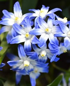 Chionodoxa is a cheerful bulbous plant. It is suitable for naturalizing in a meadow, in a border, or under deciduous shrubs, trees and hedges. Chionodoxa is one of the first that blooms in the spring. Bulb Flowers, Tulips Flowers, Spring Flowers, White Flowers, Planting Flowers, Fall Plants, Garden Plants, Indoor Plants, Spring Flowering Bulbs