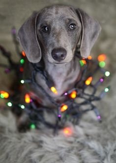 ERMAHGERD. A Dachshund with the coloring of a Weimaraner? Sign me up.