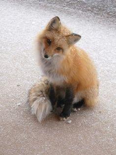 If I don't own a big cat when i'm older, I will own a fox.