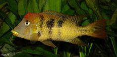 Geophagus pelligrini Yellow. Adult male. © Unimati.dk