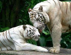 #Tigres de Bengala. Carinho... q lindo!