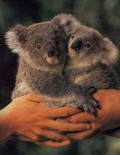 This Orphaned Koala is the cutest thing you will see today Bilder: Dieser verwaiste Koala ist das niedlichste, was Sie heute sehen werden – das Life – Stylist Magazine Cute Funny Animals, Cute Baby Animals, Animals And Pets, Amazing Animals, Animals Beautiful, Mon Zoo, Australia Animals, Tier Fotos, Baby Koala