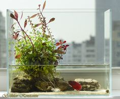 Wabi-kusa with Betta in it. Looks really good although I hope it's a temporary home for that Betta.