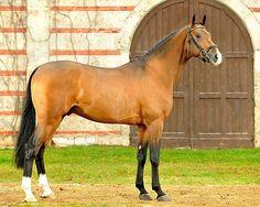 Holsteiner - stallion Caleon