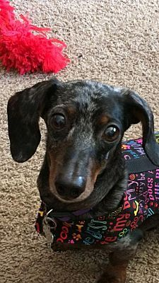 Los Angeles Ca Dachshund Meet Utah Drut Itchy A Pet For