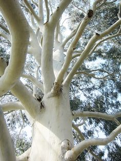 Aegis and Nexus gum trees I took a photo just like this in