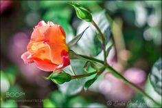 Rose by eminipek #nature #mothernature #travel #traveling #vacation #visiting #trip #holiday #tourism #tourist #photooftheday #amazing #picoftheday