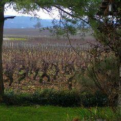 Spring : Burgundy Wineyard - France