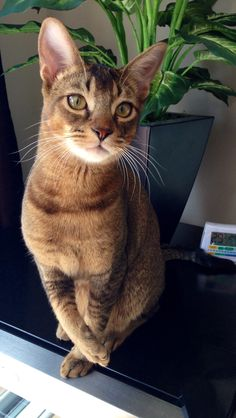 Shelby 8-month Abyssinian cat !
