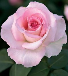 Pink Promise Rose
