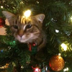 The elusive Christmas tree cat (luckily Amos doesn't do this ... knock on wood)