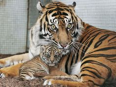 Tiger Pictures: Carnivores: Animal Planet