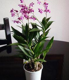 Como cuidar de dendrobium. Dendrobiums são o tipo de orquídea mais popular no mundo pela sua beleza e facilidade tanto no plantio quanto nos cuidados. Quase todas as Dendrobiums vendidas são hibridas, ou seja, nasceram de cruza...