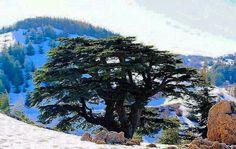 Lebanon.شجرة الارز.رمز بلادي.