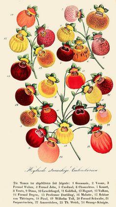 Hybride strauchige calceolarien, 1858. #Victorian #vintage #botanical #illustrations