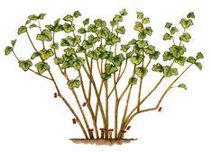 Coacăzul este o plantă viguroasă care necesită puţină atenţie. Tăierile bine făcute asigură recolte maxime şi garantează sănătatea tufei. Aşadar: Fruit Trees, Botany, Salvia, Compost, Grape Vines, Peonies, Garden Design, Home And Garden, Gardening