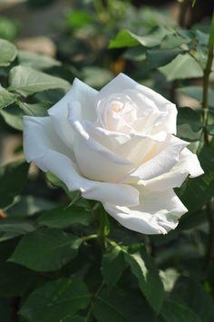 'Elene Giuglaris' | Hybrid Tea Rose. Production in 2008 Japan Kimura TakuIsao production