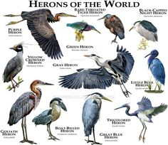 Fine art illustration of some of the bird species native to the Mid-Atlantic Coast in North America Birds of the Mid-Atlantic Coast Types Of Animals, Animals Of The World, Animals And Pets, Animal Species, Bird Species, Bird Identification, Animal Posters, Animal Facts, Mundo Animal