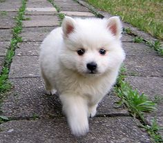 JAPANESE SPITZ....if i ever find one of these for sale i swear i am getting it
