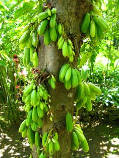 ˚Belimbing Wuluh tree used for cooking fish VERY Sour - Indonesia