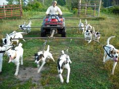 How to walk a lot of dogs at once