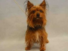 ★2/10/16 STILL THERE★Manhattan Center NITRO – A1064662  MALE, BROWN / BLACK, AUST TERRIER / YORKSHIRE TERR, 5 yrs STRAY – STRAY WAIT, NO HOLD Reason STRAY Intake condition UNSPECIFIE Intake Date 02/07/2016, From NY 10458, DueOut Date 02/10/2016, Urgent Pets on Death Row, Inc