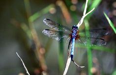 I LOVE Dragonflies! Macro nature photography