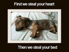 Steal your bed. Dachshund Funny, Dachshund Quotes, Long Haired Dachshund, Dachshund Puppies, Dachshund Love, Dog Quotes, Cute Puppies, Cute Dogs, Daschund