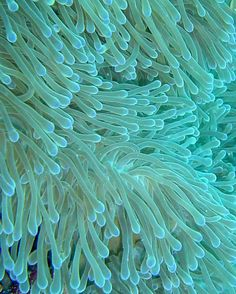 Sea Anemone in turquoise