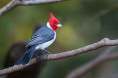 Foto cardeal (Paroaria coronata) por Ivan Angelo | Wiki Aves - A Enciclopédia das Aves do Brasil