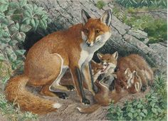 Watercolors of animals by Charles Frederick Tunnicliffe Wildlife Paintings, Wildlife Art, Animal Paintings, Animal Drawings, Fox Art, Bird Art, Funny Animals, Cute Animals, Fox Drawing