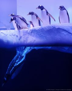 Image detail for -Gentoo penguins enter the water at the S