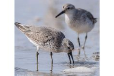 As spring arrives earlier in far northern Russia, red knots get smaller—and have trouble in their African winter homes