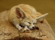 fennec fox | Fennec fox | The Biggest Animals Kingdom