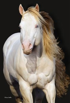 "Perlino stallion quarter horse. A Buckskin is a ""bay"" with one creme gene and a Perlino is a ""bay"" with two creme genes. Like Cremillos, Perlinos have pink skin and blue eyes. Their hair coats are not literally white but are of a light creme color."