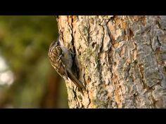 Eurasian Treecreeper or Common Treecreeper (Certhia familiaris) / Waldbaumläufer [07] - YouTube