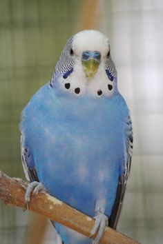 Ah, budgies! just adorable little birds with so much personality! My kids love their blue budgie!