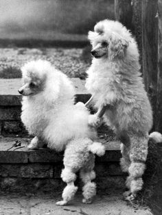 Poodles From The Past