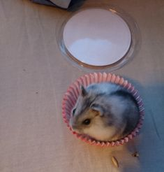 They said I could be anything. So I became a cupcake. #cutehamsters