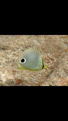 Four eyed butterfly Tropical Fish, Under The Sea, Caribbean, Butterfly, Pets, Animals, Animals And Pets, Animales, Animaux