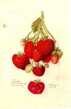 Vintage Strawberry Lithograph