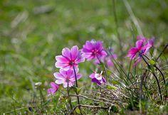 Anemone pavonina by katunchik Natural World, Flowers, Nature, Plants, Naturaleza, Plant, Royal Icing Flowers, Nature Illustration, Off Grid