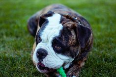 The 8 best dog toys to keep your furry friend engaged Best Dog Toys, Dog Chew Toys, Best Dogs, Black And White Dog, White Dogs, Olde English Bulldogge, Diabetic Dog, Dog Chews, Little Dogs