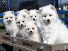 8 Best Eskipoo Images Little Puppies Cute Puppies Cutest Puppy