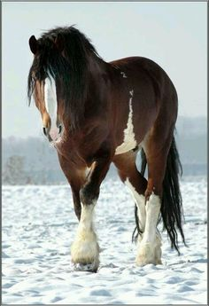 I have always wanted a Clydesdale horse, they are some of the most beautiful and majestic horses.