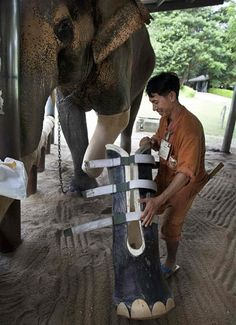Prosthetics for elephants who step on landmines left over from the Vietnam War on the border with Thailand and Cambodia