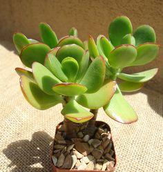 Crassula arborea (arbol de jade)